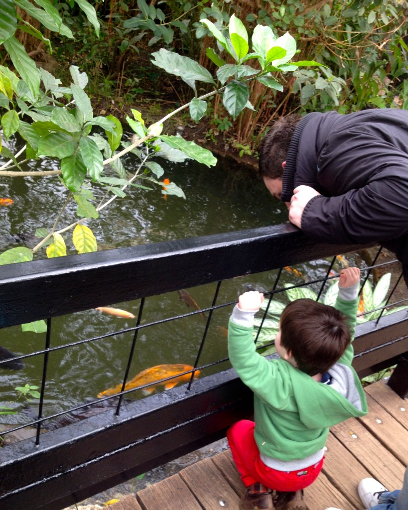 The koi karp are definitely a favourite for Roo, he spent ages feeding them and pointing out all of the different colours to Daddy!