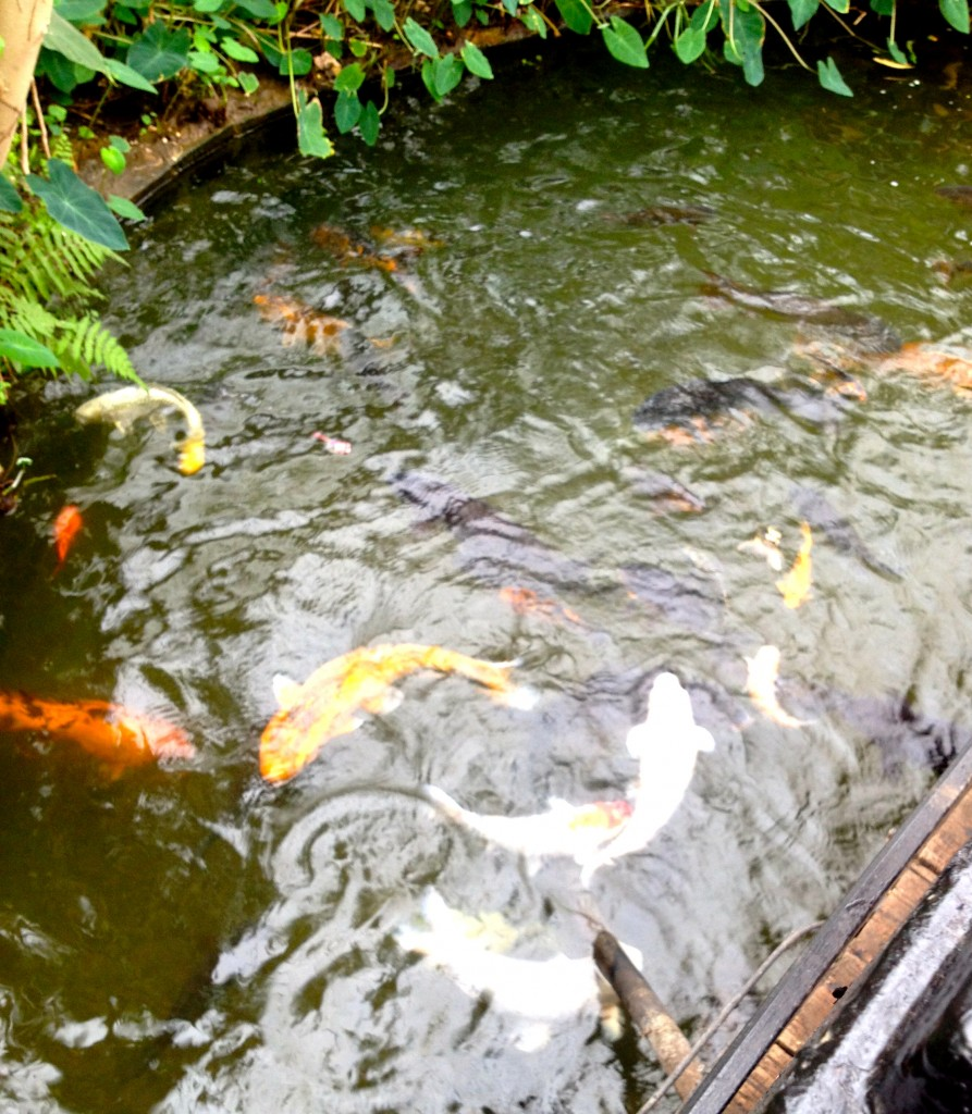 One of the koi ponds at Tropical World, Roo loved it and Toby was mesmerised.