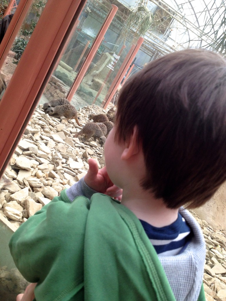 The meerkat enclosure is clear plastic all of the way round so that the kids can see in without needing to be carried round the whole way.